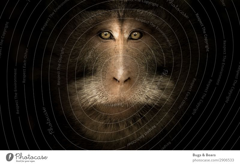 macaque portrait Animal Wild animal Animal face 1 Aggression Esthetic Threat Brown Willpower Might Brave Trust Nature Monkeys Eyes Dark Near Strong Superior