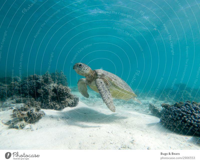 Green sea turtle Nature Reef Coral reef Ocean Animal Wild animal Aquarium Contentment Wisdom Adventure Turtle Green turtles Australia Marine animal Swimming