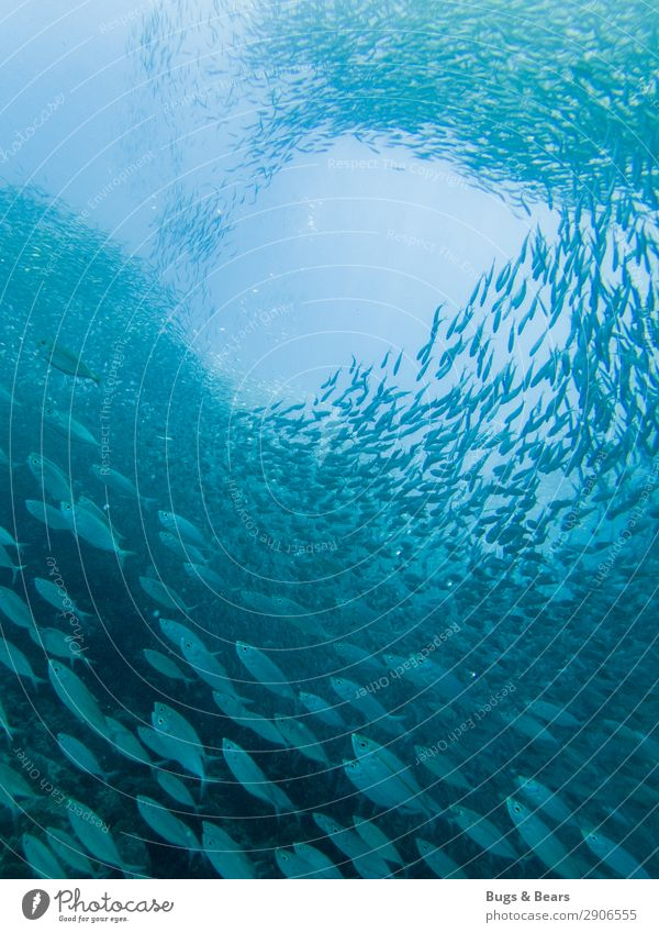 swarm of sardines Environment Nature Water Coral reef Ocean Fish Aquarium Group of animals Flock Adventure Shoal of fish Sardine Formation Spiral Blue