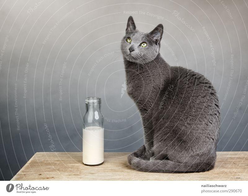Still life with the cat Milk Animal Pet Cat 1 Bottle Milk bottle Wood Observe Discover Relaxation Glittering Illuminate Looking Sit Elegant Friendliness
