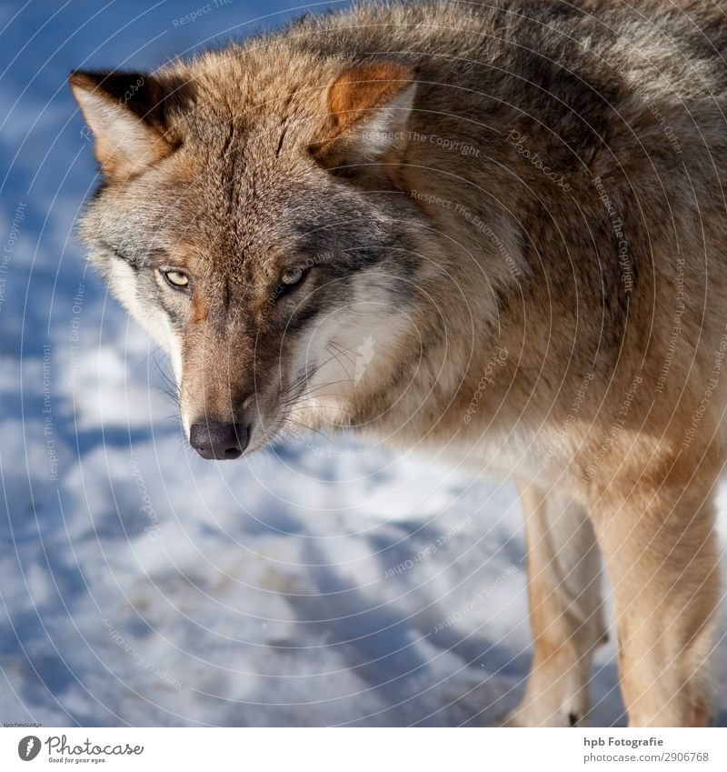 Wolf 58 Environment Nature Animal Ice Frost 1 Esthetic Authentic Elegant Free Beautiful Cold Smart Blue Brown Moody Contentment Joie de vivre (Vitality) Bravery