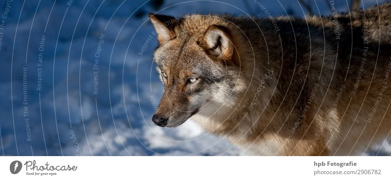 Wolf 1 Environment Nature Animal Sunlight Winter Beautiful weather Ice Frost Wild animal Animal face Pelt Paw Esthetic Elegant Blue Brown Moody