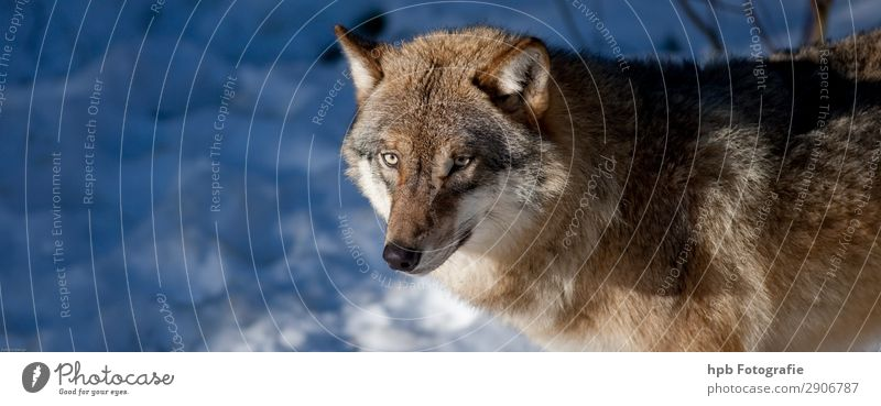 Wolf 2 Environment Nature Animal Winter Beautiful weather Ice Frost 1 Esthetic Athletic Exceptional Natural Smart Blue Brown Moody Joie de vivre (Vitality)