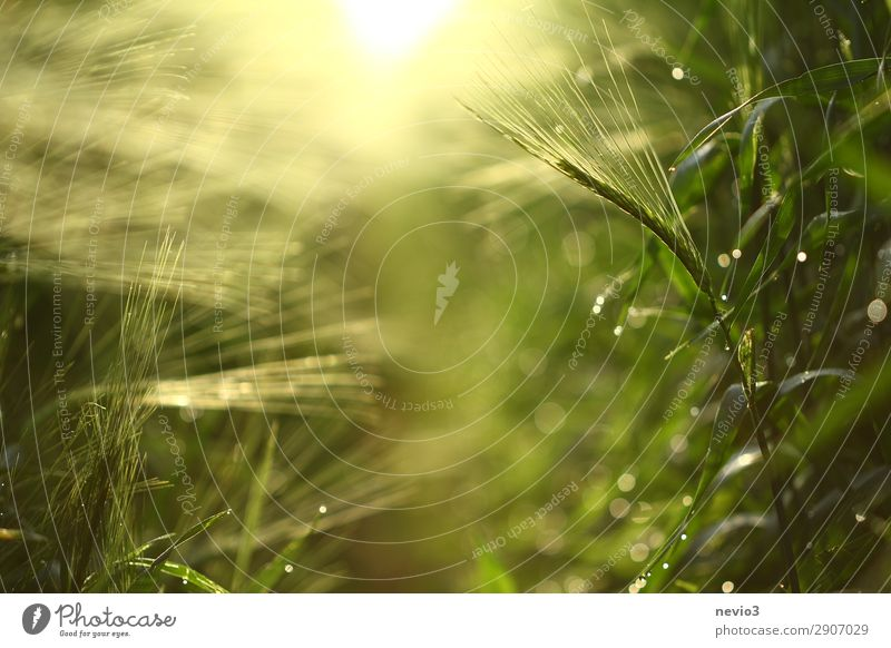 Barley field in spring Nature Spring Leaf Foliage plant Agricultural crop Garden Meadow Field Natural Yellow Green Spring fever Anticipation Seasons Barleyfield