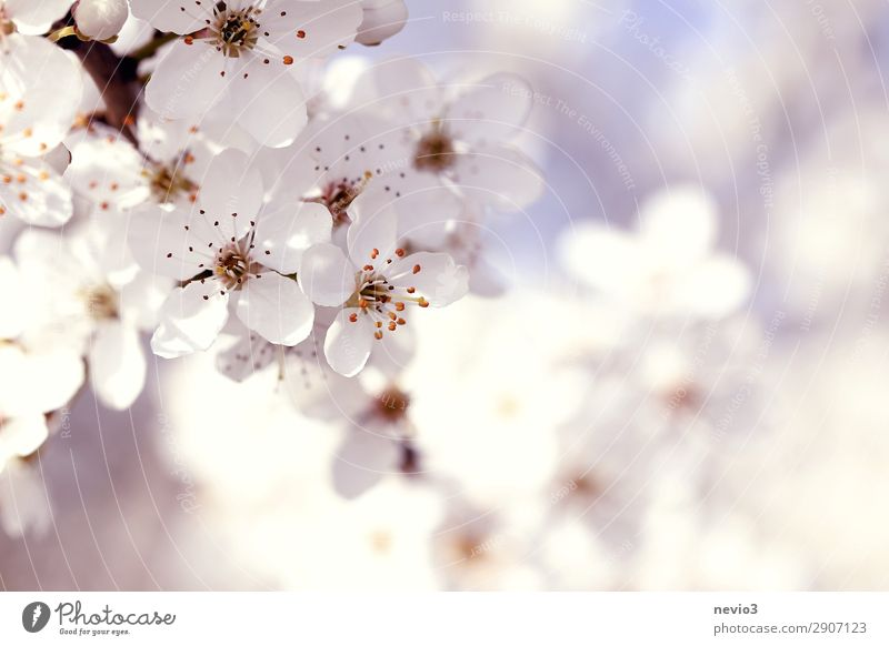 Flowering blackthorn Environment Nature Spring Plant Blossom Agricultural crop Wild plant Beautiful Natural White Sloe Blackthorn Blossom leave Calyx Blossoming