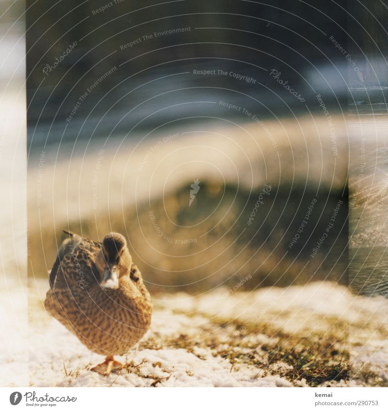 Being able to stand well on one leg Winter Beautiful weather Ice Frost Plant Grass Animal Wild animal Bird Animal face Duck Beak female 1 Looking Stand