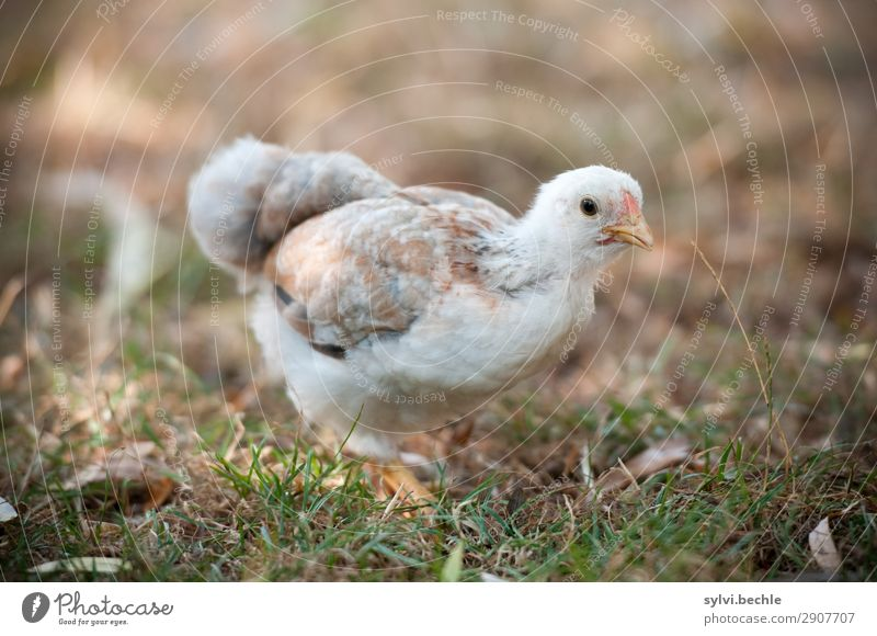 teenage hen chicken fowls hens chickens Chick brut incubate naturbrut Grass Brown green natural salubriously fond of animals Love of animals fortunate Life