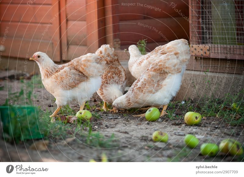 Juvenile hens III chicken fowls chickens Chick brut incubate naturbrut Grass Brown green natural salubriously fond of animals Love of animals fortunate Life