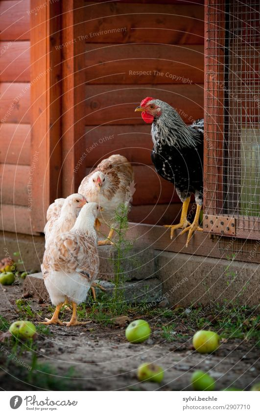 teenage chickens Rooster fowls hen hens Chick brut incubate naturbrut Grass Brown green natural salubriously fond of animals Love of animals fortunate Life