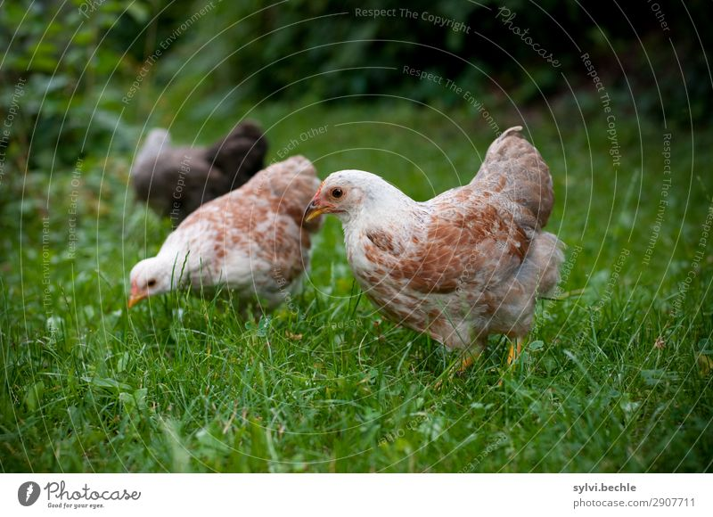 young hens chicken fowls chickens Chick brut incubate naturbrut Grass Brown green natural salubriously fond of animals Love of animals fortunate Life Barn fowl