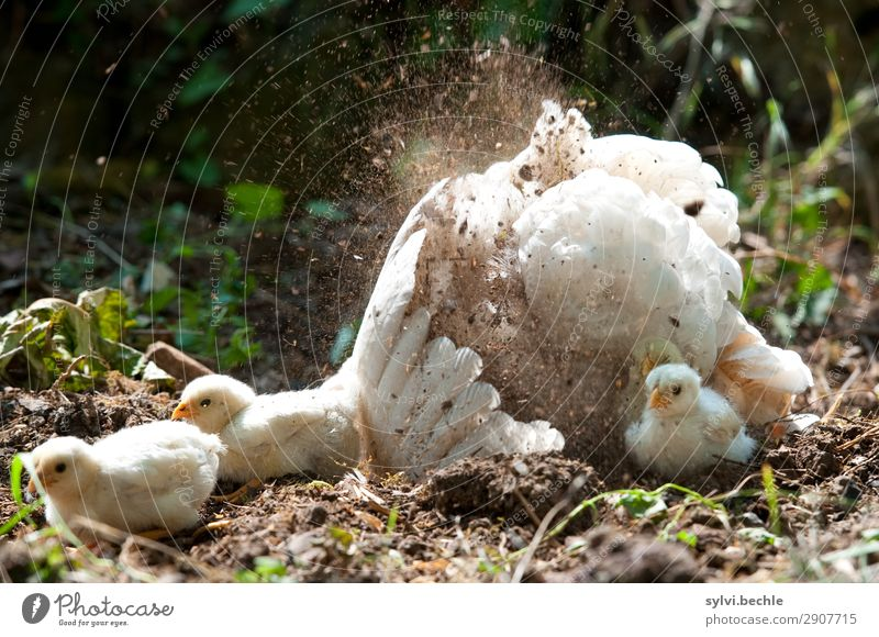 passive bathing :-D Personal hygiene Well-being Nature Summer Grass Garden Animal Farm animal Wing Gamefowl Chick Feather Group of animals Baby animal