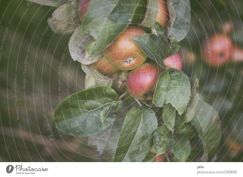 apples Environment Nature Plant Tree Leaf Agricultural crop Apple tree Fruit Natural Colour photo Exterior shot Deserted Copy Space left Day