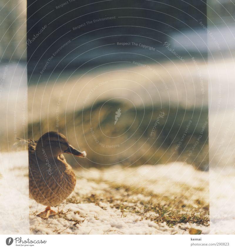 Snow at the beak Sunlight Winter Beautiful weather Plant Grass Animal Wild animal Bird Animal face Duck Beak 1 Stand Serene Calm Colour photo Subdued colour