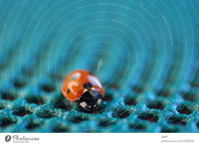 Ladybug on unnatural background Loneliness on one's own Small Diminutive insignificantly small insulation Animal Beetle 1 Sit Blue Orange Happy Ladybird