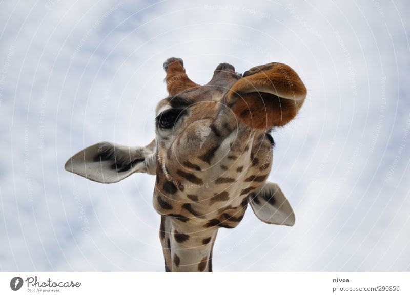 long neck Trip Zoo Sky Clouds Summer Beautiful weather Animal Petting zoo Giraffe 1 Discover Eating Feeding Looking Esthetic Thin Elegant Friendliness Gigantic