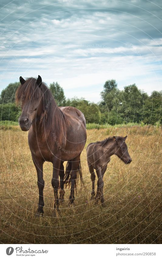 Icelandic offspring Happy Ride Equestrian sports Nature Landscape Plant Animal Sky Horizon Summer Meadow Pasture Farm animal Horse Foal dam Iceland Pony 2