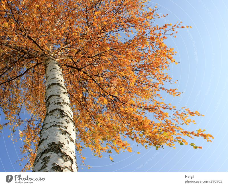 ginger Environment Nature Plant Autumn Beautiful weather Tree Leaf Birch tree Birch bark Birch leaves Tree trunk Field Old Hang Stand Growth Esthetic Authentic