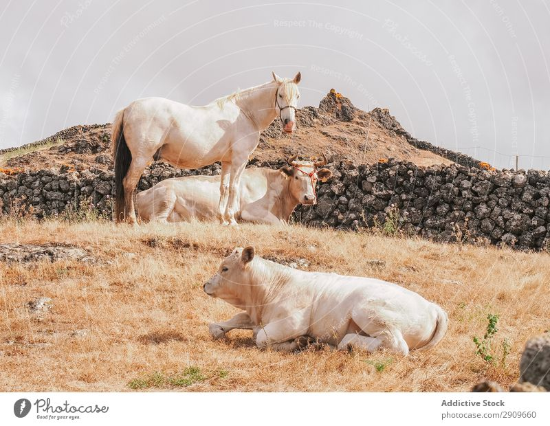 Horse and cows in countryside Exterior shot Farm Leisure and hobbies pasturing Beautiful hierro island Field Domestic Herd equestrian Mane Calm