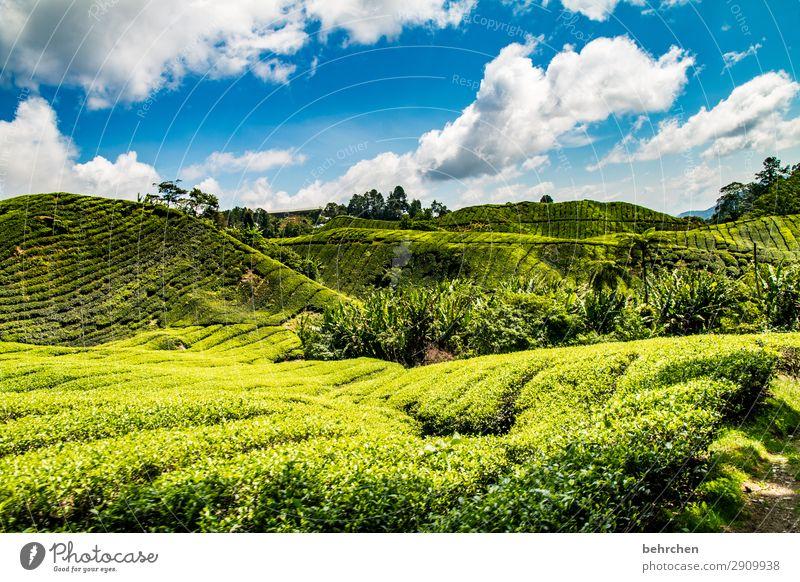 bananas and tea Vacation & Travel Tourism Trip Adventure Far-off places Freedom Nature Landscape Sky Clouds Plant Tree Bushes Leaf Agricultural crop Tea plants