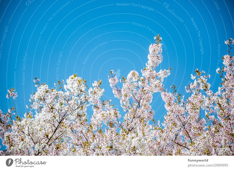 White-pink cherry blossoms against a blue sky Cherry blossom Spring Sun Blossom Tree Pink Exterior shot Cherry tree Spring fever Deserted Blossoming Plant