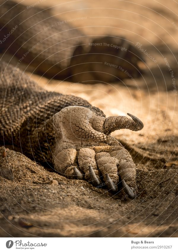 The last dragon Hand Elements Earth Sand Animal Wild animal Scales Claw Paw Sleep Adventure Power Waran Reptiles Indonesia Travel photography Lie Exotic Dragon