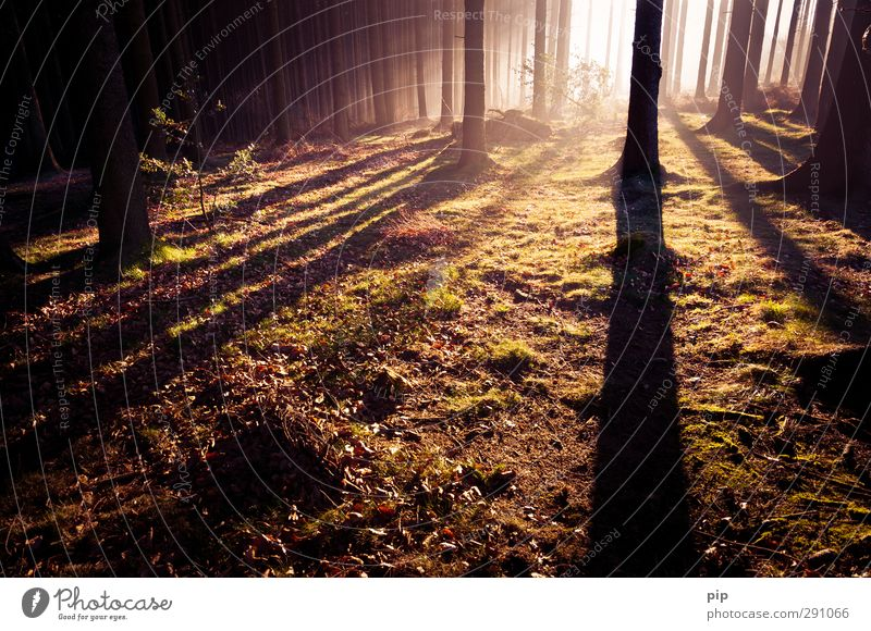 roaming the woods Autumn Beautiful weather Fog Tree Spruce forest Coniferous forest Tree trunk Undergrowth Clearing Forest Dark Bright Nature Fir tree Dawn