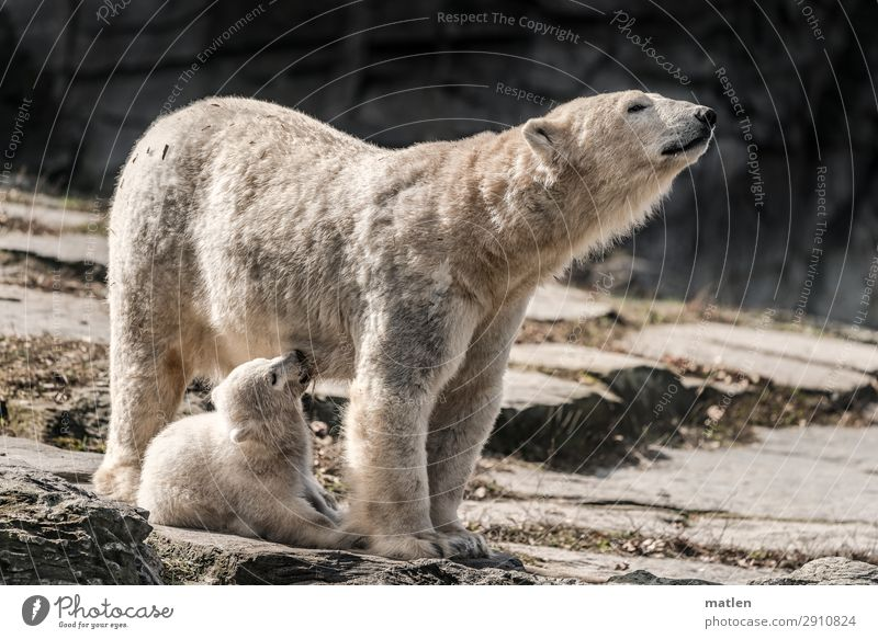 suckling Animal Animal face Pelt 2 Baby animal Animal family Drinking Cute Brown Gray White Polar Bear Mother Mammal Appease Colour photo Subdued colour