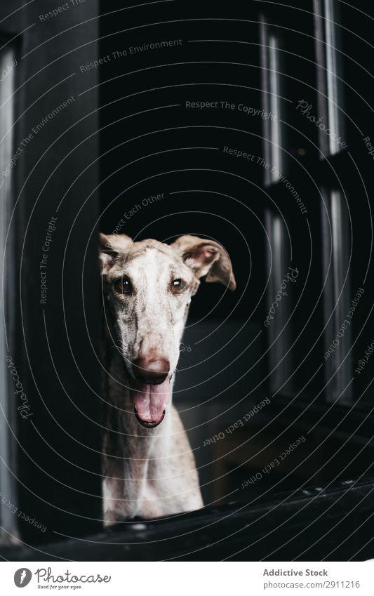 Cute dog looking through window Dog Window Home Glass Pet Purebred spanish greyhound Animal Domestic Wait Staring Friendship Obedient Loyal galgo Mammal