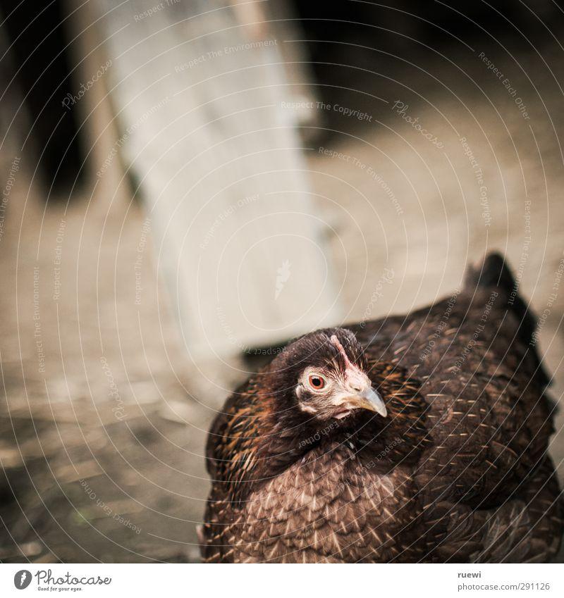 Animal Sand Brown Bird Food Earth Dirty Free Stand Cute Agriculture Curiosity Animal face Tilt Farm Fat
