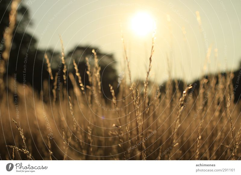 summer evening Nature Plant Sunrise Sunset Summer Beautiful weather Warmth Grass Meadow Deserted Friendliness Happiness Natural Yellow Gold