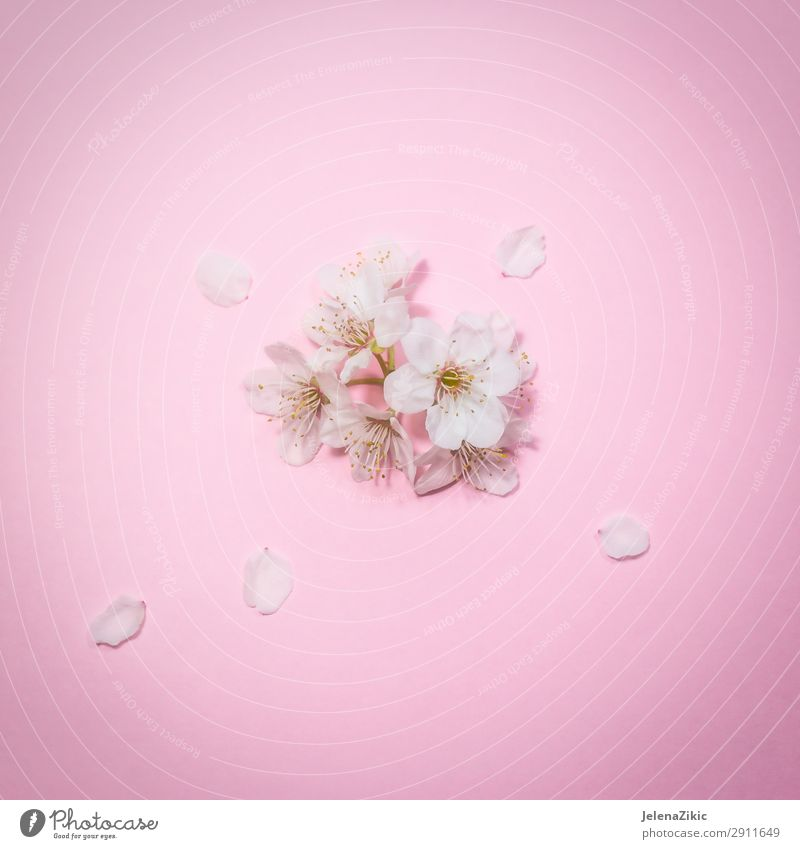 Spring blossom on pink background Nature Summer Plant Beautiful White Tree Flower Blossom Natural Copy Space Pink Design Decoration Bright Fresh