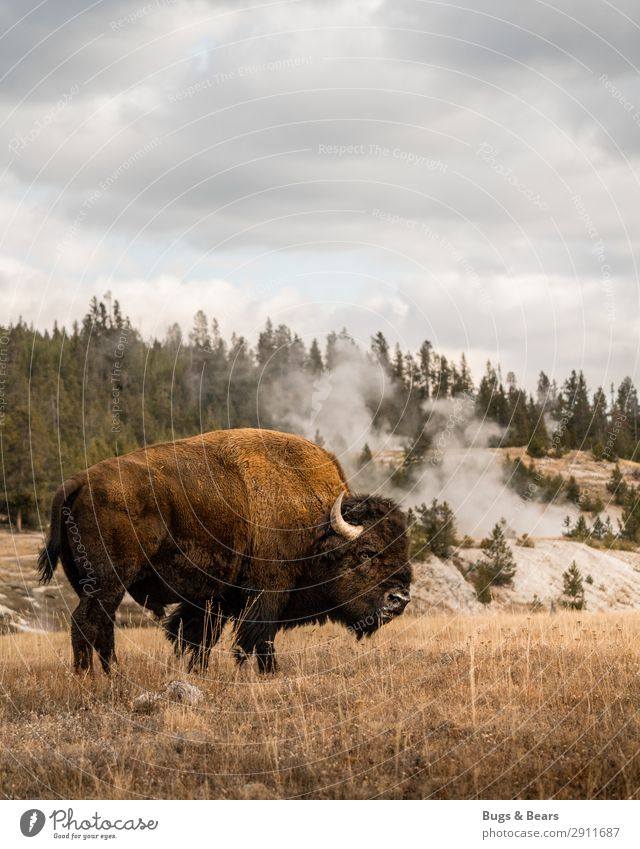 yellowstone Environment Nature Landscape Elements Clouds Climate Warmth Volcano Animal Wild animal Herd Adventure Vacation & Travel Safety Power Bison Buffalo