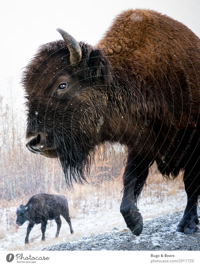 Wood Bison Animal Wild animal Exceptional Adventure Buffalo Canada Alaska Winter Love of animals Antlers Strong Nature Snow The Arctic Travel photography Snout