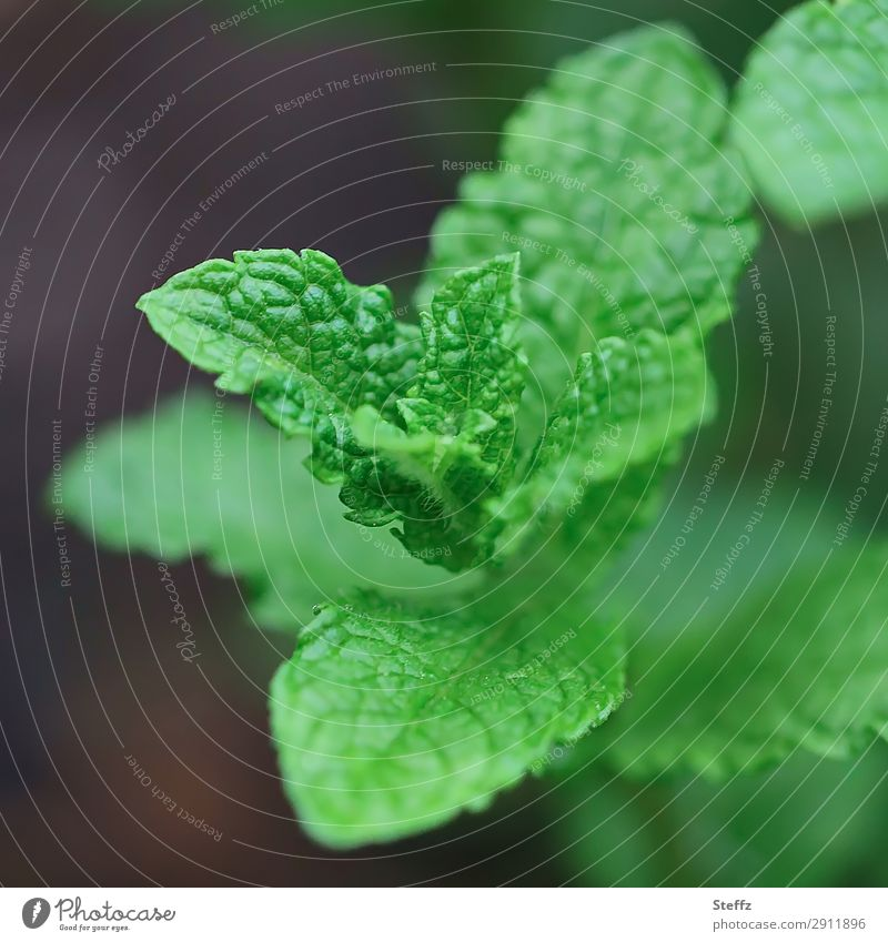 Nature Summer Plant Beautiful Green Leaf Healthy Food Environment Spring Natural Garden Fresh Growth Herbs and spices Fragrance