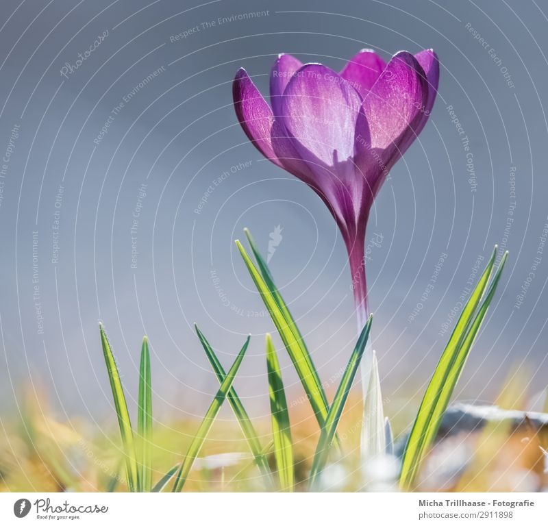 Crocus in the spring sun Nature Plant Sky Sunlight Spring Beautiful weather Flower Grass Meadow Blossoming Glittering Illuminate Growth Esthetic Fragrance Near