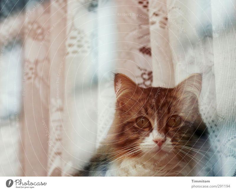 Window cat. Animal Pet Cat Animal face 1 Drape Observe Looking Emotions Attentive Window pane Reflection Be quiet! Colour photo Subdued colour Exterior shot