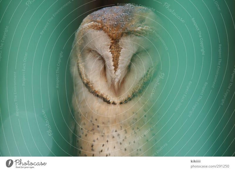 Green Eyes Sit Closed Wait Feather Sleep Zoo Turquoise Captured Grating Owl birds Eagle owl