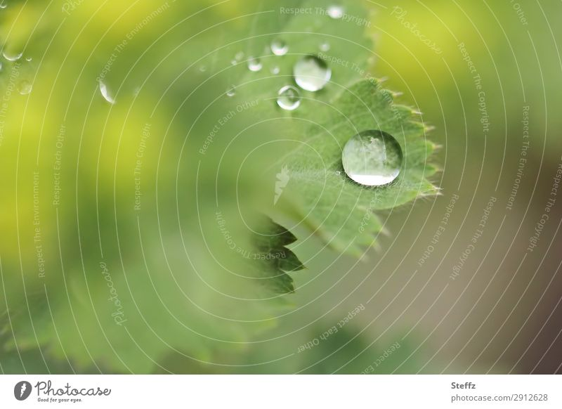 After the rain Environment Nature Plant Drops of water Spring Summer Weather Rain Leaf Foliage plant Agricultural crop Alchemilla vulgaris Alchemilla leaves