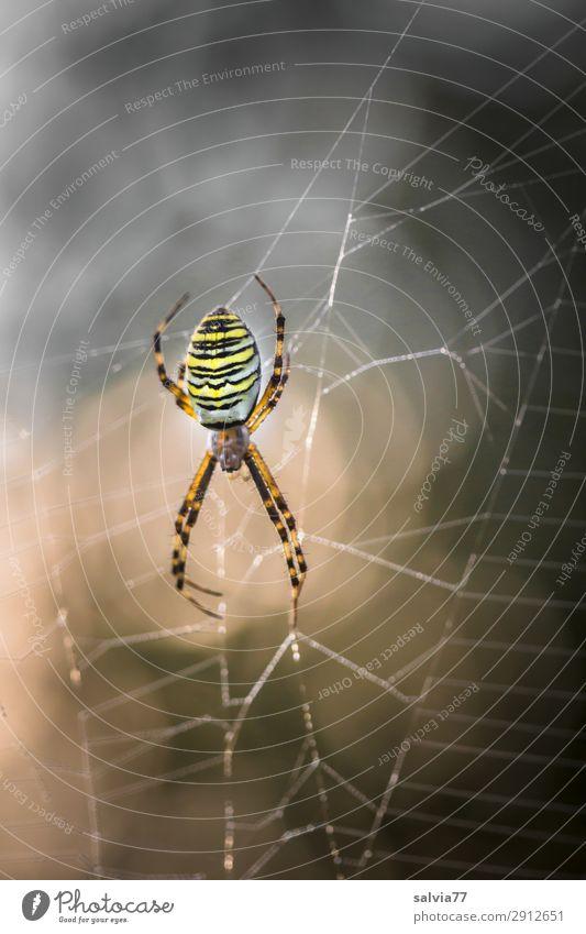 wasp spider Nature Animal Wild animal Spider Orb weaver spider 1 Hunting Wait Exceptional Threat Dark Watchfulness Expectation Planning Surrealism Surveillance