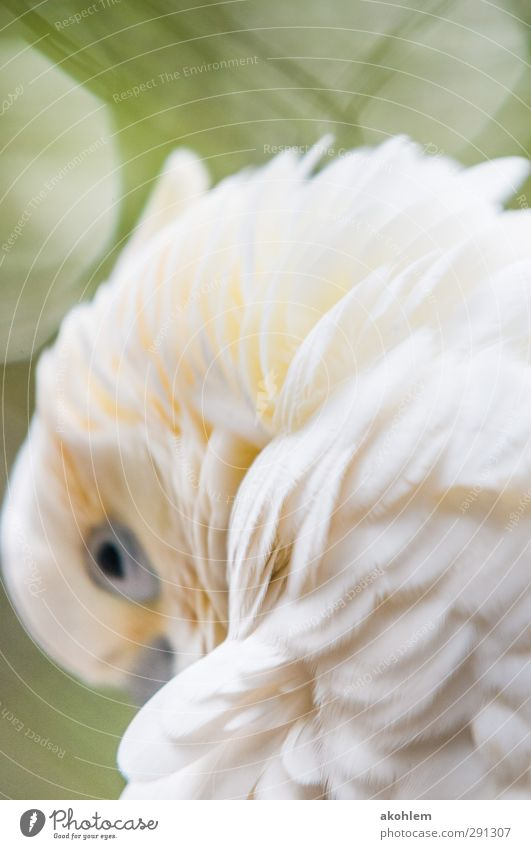 cockatoo Animal Bird Animal face Wing Zoo 1 Think Relaxation Looking Elegant Exotic Beautiful Cuddly Warmth Soft Yellow Green White Secrecy Warm-heartedness