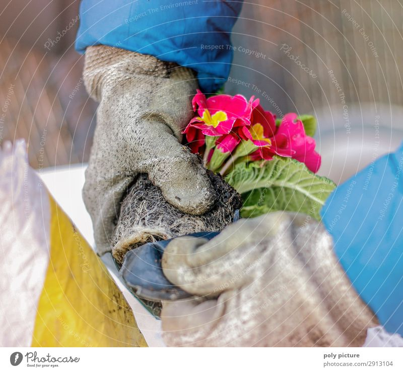 Primrose is planted - hand with grey gloves Lifestyle Human being Infancy Adults Hand Fingers 8 - 13 years Child 13 - 18 years Youth (Young adults)