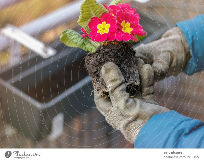 Primrose plants held with gloves Lifestyle Leisure and hobbies Environment Nature Spring Summer Climate change Village Small Town Outskirts Balcony Terrace