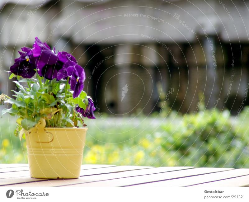 stepmother Pansy Flowerpot Violet Blossom Wooden table Café Formulated Gastronomy Decoration Sun