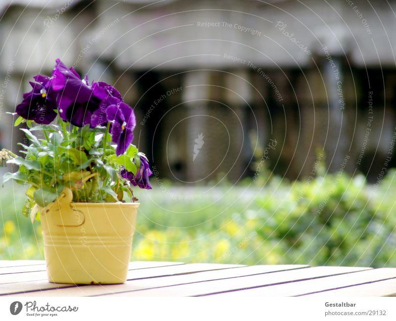 Sun Blossom Violet Decoration Gastronomy Café Flowerpot Formulated Wooden table Pansy