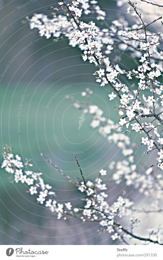 Foreboding and anticipation Premonition Anticipation Cherry blossom cherry blossom early spring Spring Blossoming Fresh Bright pretty New Intuition Hope Decent