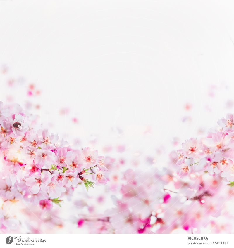 Cherry blossom frame on white Lifestyle Style Design Summer Nature Plant Spring Leaf Blossom Pink Fragrance Background picture April Bright background Frame May
