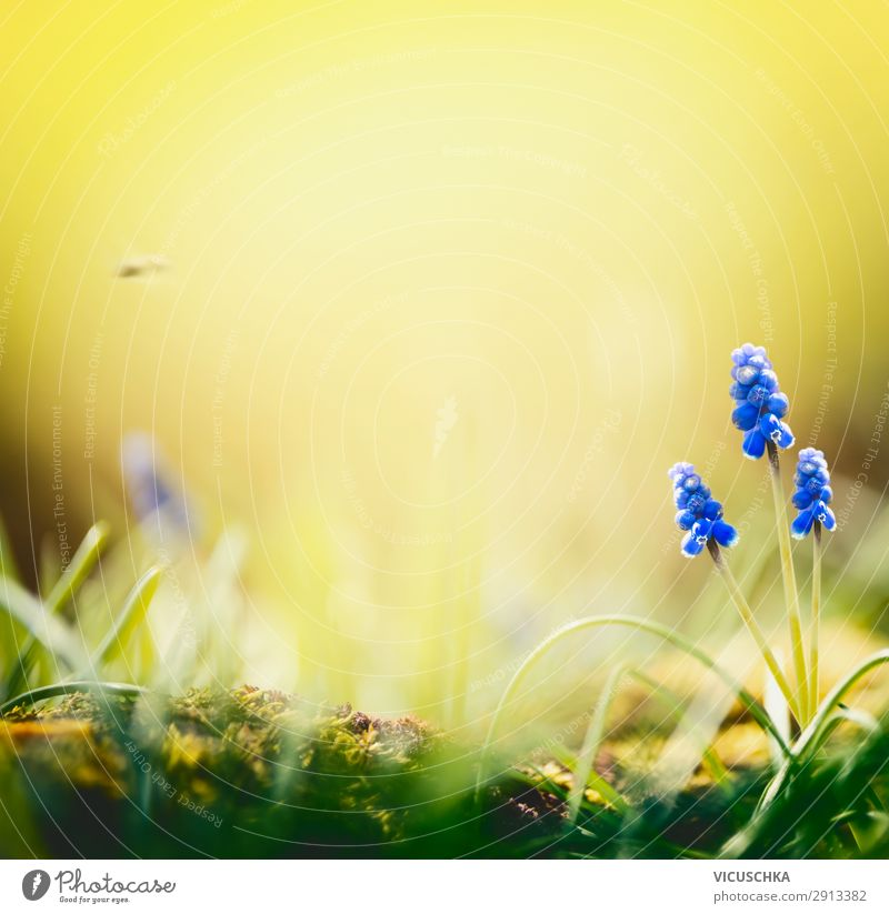 Spring nature background with hyacinth flowers Lifestyle Joy Summer Garden Nature Landscape Plant Flower Blue Yellow Background picture springtime day