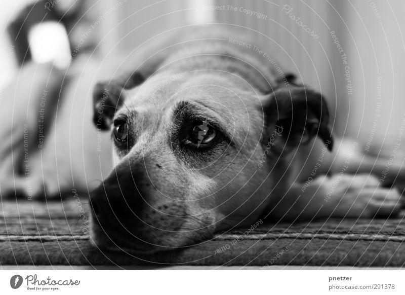 Dog Beautiful Animal Eyes Emotions Baby animal Head Dream Lie Contentment Sleep Friendliness Ear Pet Paw Snout