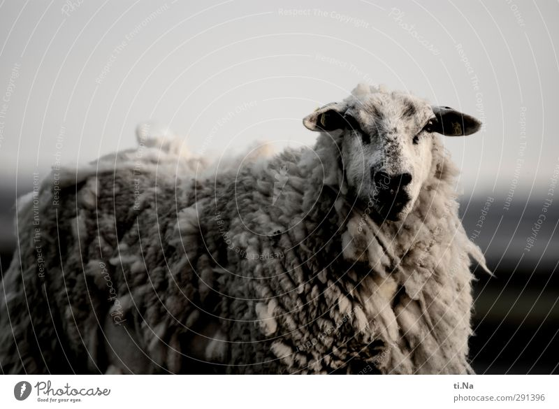 That doesn't do anything Summer Autumn Coast North Sea Dike Farm animal Pelt Sheep Lamb's wool Observe Dirty Large Curiosity Gray Black Silver White