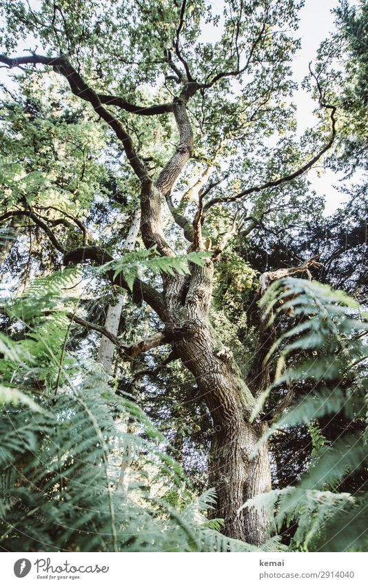 oak Life Harmonious Well-being Senses Calm Adventure Nature Plant Summer Beautiful weather Tree Fern Oak tree Forest Growth Old Authentic Exceptional Gigantic